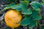 KürbisfruchtK.png